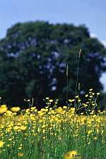 Buttercups, photo by Simon J Evans